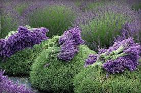 lavender flowers dried lavender flowers information on drying using and buying
