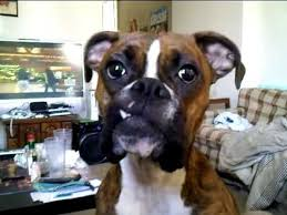 boxer dog youtube 410 best boxers images on pinterest boxer love boxer puppies