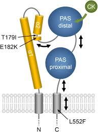 gain of function mutants of the cytokinin receptors ahk2 and ahk3