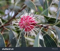 Pin Cushion Tree West Australian Native Plant Hakea Laurina Stock Photo 129043091