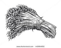 sheaf of corn stock images royalty free images u0026 vectors