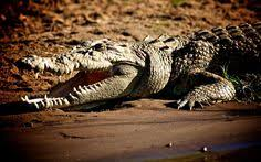 crocodile hd images get free top quality crocodile hd images for