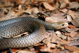 snakes alive as temperatures rise redland city council news