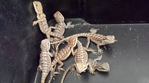 15 bearded dragons 6 weeks stunning colours iver