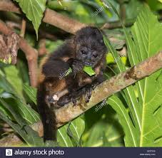 Free Baby Canopy by Baby Mantled Howler Monkey Alouatta Palliata Eating Tree Leaves