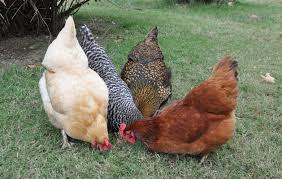 Backyard Chicken Breeds by Chicken Breeds American With Backyard Chicken Breeds Barred Rock