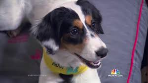 australian shepherd rescue nc hotel offers guests a cute canine to take home at checkout nbc news