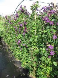 kletterpflanzen fã r balkon 21 best garten kletterpflanzen images on flowers
