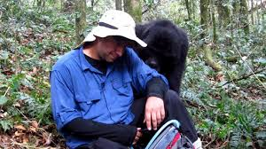 amazing gorilla encounter nick s interaction with a mountain