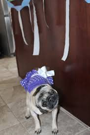 Happy Birthday Pug Meme - happy birthday pug about pug