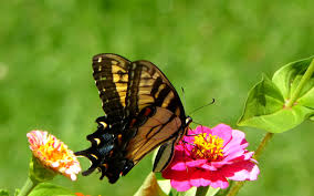 charming butterfly wallpaper images pc download page 13