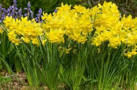 spring flower daffodil bulbs item 3960 yellow ocean for sale