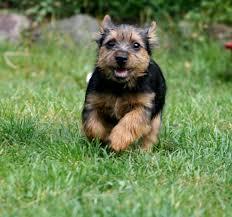 belgian sheepdog litters cursinu puppies puppy dog gallery