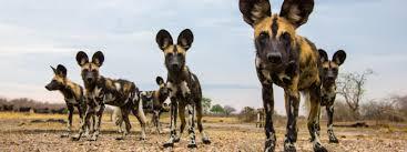 safari ltd african wild dog african wild dog species wwf