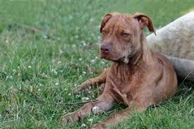 american pitbull terrier vs amstaff american staffordshire terrier temperament u0026 personality