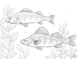 yellow perch coloring page free printable coloring pages