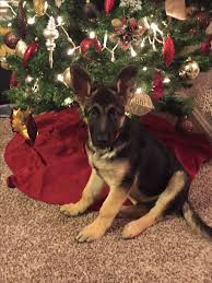 1000 best german shepherd puppy part 10 closed images on