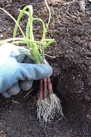 growing onions bonnie plants
