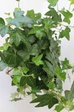 english ivy plant care about house plants