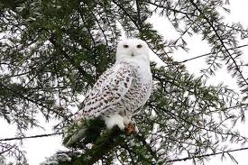 snowy owl in the city