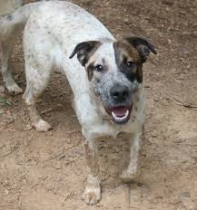 australian shepherd rescue nc cutest mixed breed dogs you can adopt national mutt day