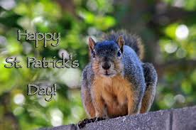 happy st patrick u0027s day squirrel free stock photo public domain