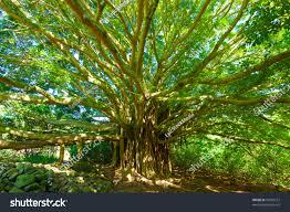tree life amazing banyan tree stock photo 92963212 shutterstock