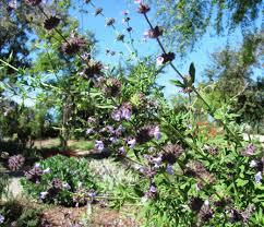 california lilac archives christiane holmquist landscape design