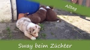 australian shepherd 9 monate sway beim züchter australian shepherd welpe aussie puppy