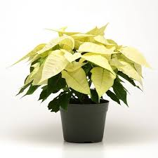 white poinsettia christmas white poinsettia