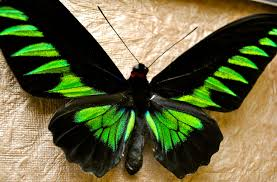 Blue And Green Butterfly - top 10 most beautiful butterflies of the the allmyfaves