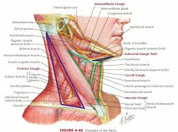 Google Body Anatomy Sternocleidomastoid Muscle Origin And Insertion Google Search