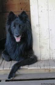 belgian sheepdog traits belgium shepherd belgian sheepdog belgian groenendael chien