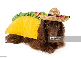 Taco Costume Dog Wearing Taco Costume Stock Photo Getty Images