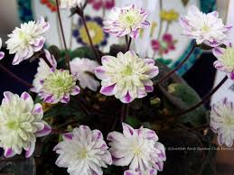 Scottish Rock Garden Forum Visiting A Hepatica Show