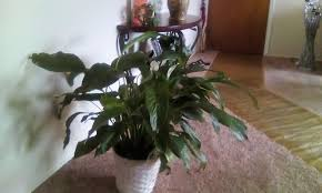 peace lilly how to care for peace lilies 15 steps with pictures wikihow