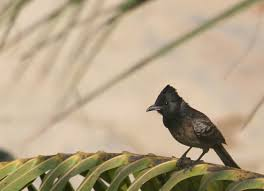 common birds of iit kanpur and india