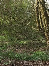 a special tree picture of cassiobury park watford tripadvisor