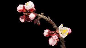 hd timelapse video of an apricot fruit tree flower growing