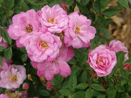 roses china some china roses heritage roses in australia inc