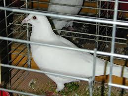 cuisine des pigeons voyageurs pigeon voyageur dictionnaire des sciences animales