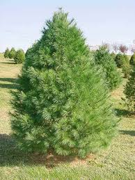 white pine trees buy eastern white pine online free shipping 99 99