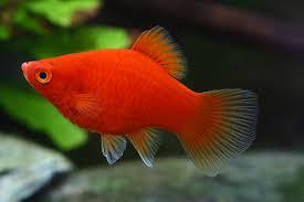 Buy Ornamental Fish Livebearers Of Ornamental Fishes Vikaspedia