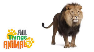 lions animals for children kids videos kindergarten preschool