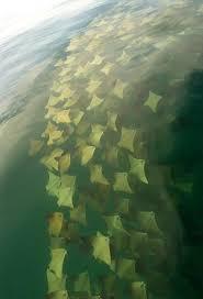 imagenes extraordinarias del mar extraordinarias imágenes de mantarrayas doradas migrando en el golfo