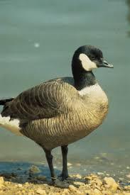 free picture aleutian canada goose bird