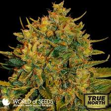 northern lights yield indoor northern light x big bud feminized seeds world of seeds true