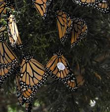 monarch butterflies in the pacific northwest home facebook