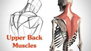 Muscle Anatomy Of Shoulder How To Draw The Upper Back Muscles Anatomy And Motion Youtube