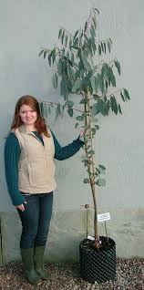 buy garden hardy eucalyptus trees at hardy eucalyptus